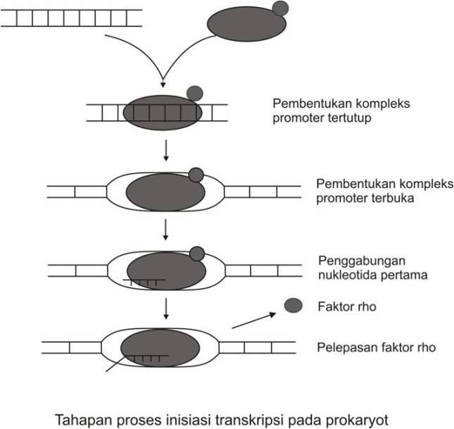 Elongasi kamrianti ramli berbeda dengan sintesis dna sintesis rna dapat berlangsung tanpa adanya molekul primer oleh karena hampir semua tapak inisiasi transkripsi berupa basa g ccuart Image collections