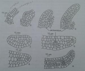 asal muasal primordium (bakal daun)